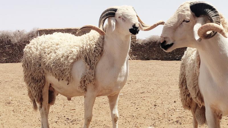 صورة عيد الأضحى.. وزارة الفلاحة تعلن إجراءات جديدة لهذه السنة