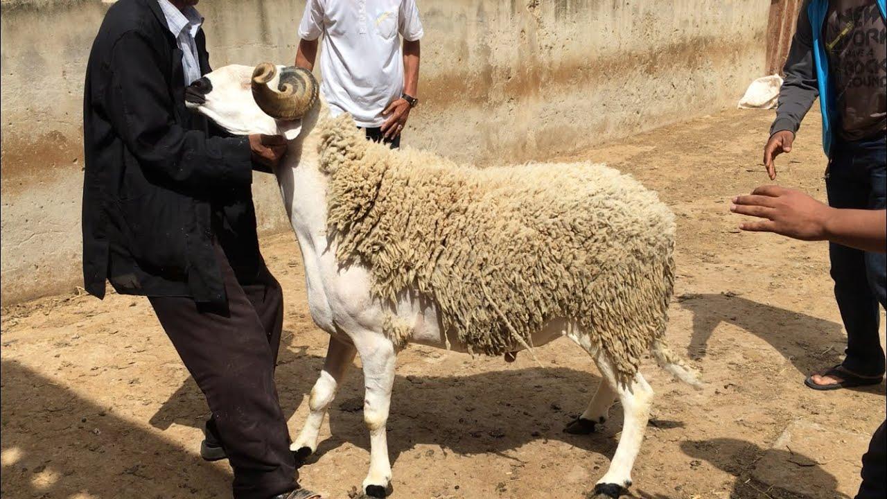 Photo of هذا تاريخ عيد الأضحى بالمغرب وعدد أيام عطلته