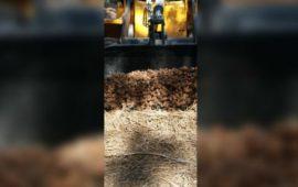 بعد إستعمال مبيدات فلاحية غير مرخصة.. إتلاف أطنان من البطاطس في بركان