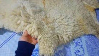 "Photo of طريقة بسيطة ومضمونة لدبغ ""هيدورة"" خروف عيد الأضحى في المنزل – فيديو"