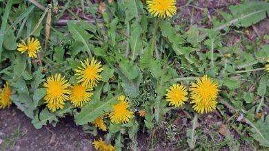 Photo of نبتة خضراء تساعدك على إنقاذ حياتك من خطر الأمراض المميتة